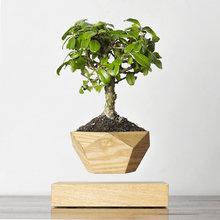 Левитирующие растения Леплант Wood Бонсай светлый