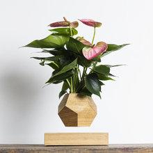 Левитирующие растения Леплант Wood Антуриум светлый